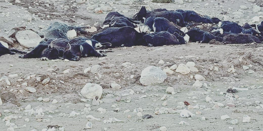 Around 300 Yaks starve to death due to heavy snowfall in North Sikkim